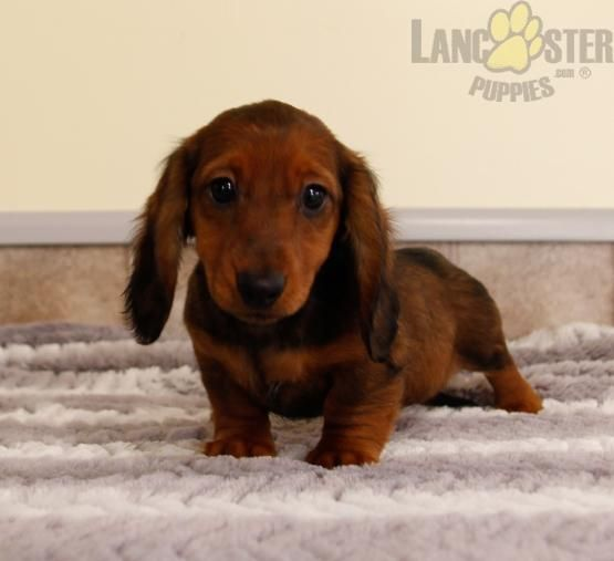 Pin By Catherine Delcid On Franktheweenie Mini Puppies Puppies Lancaster Puppies