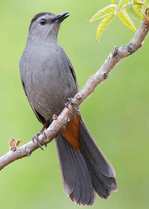 Gray Catbird native to North America east of the Rocky Mountains to Mexico and Central America