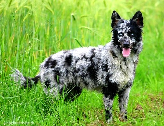Mudi – Like Australian shepherds, but fluffier!  They might look like their Aussie (American) cousins, but these small herding dogs originated in Hungary.