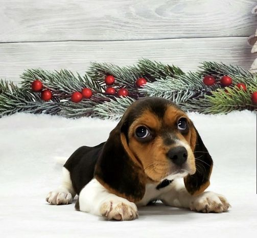 Pin By Reagan Eyler On Future Dog With Images Beagle Puppy