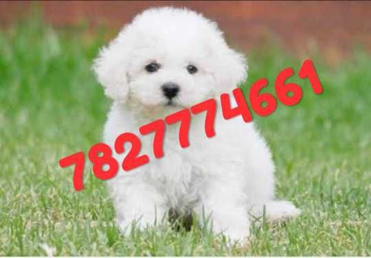 7827774661 Bichon Frise Puppies Available Here Whatsapp N How Much Should A Bichon Frise Puppy Cost Quora T In 2020 Bichon Frise Bichon Frise Dogs Bichon Frise Puppy