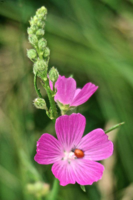 New Mexico Checkermallow Sidalcea Neomexicana Desert Plants Habitat Garden Wild Flowers