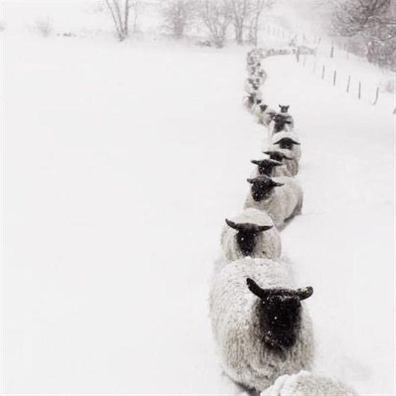 moutons sous la neige