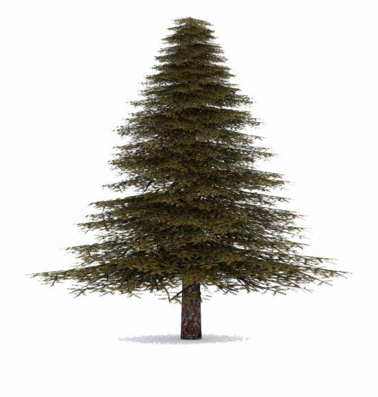 16 Evergreen Tree Png Evergreen Trees Evergreen Tree