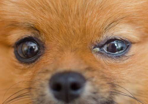 9 Most Common Eye Problems In Dogs How To Prevent And Treat Them