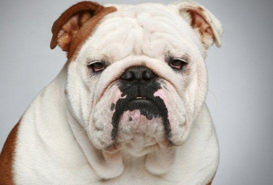 Pin Von Ennui Auf Partner In 2020 Bulldogge Englische Bulldogge Teure Hunde