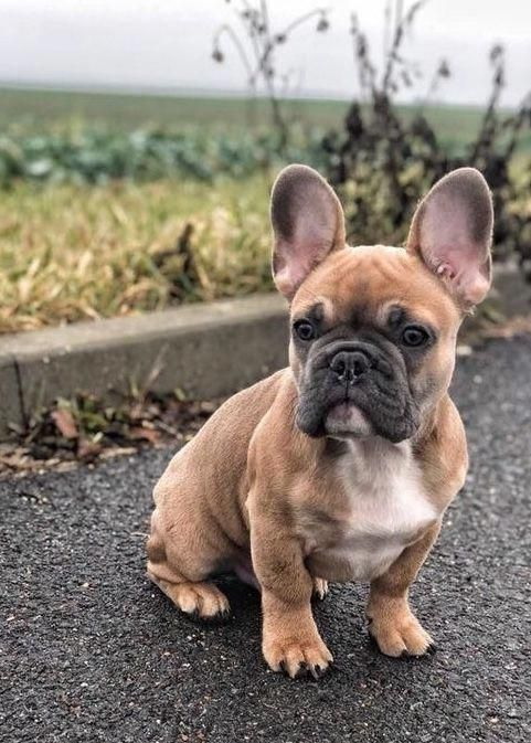 French Bulldog Full Grown Bulldog Puppies French Bulldog