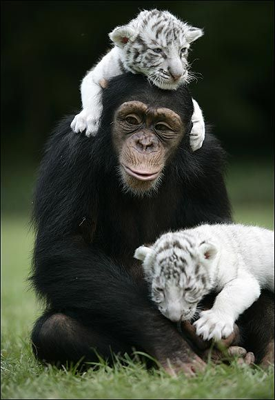 When hurricane Hannah separated two white tigers from their mother, Anjana came to the Rescue. Anjana, a chimp at TIGERS in South Carolina, became surrogate mom and playmate to the cubs, even helping with bottle feeding. But here's the truly amazing part: This is something Anjana does all the time, having helped raised leopard and lion cubs on several occasions.