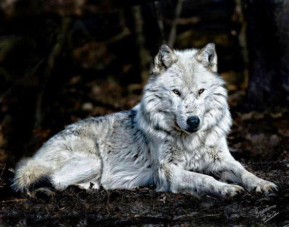 SilverWolf's Wolf pics