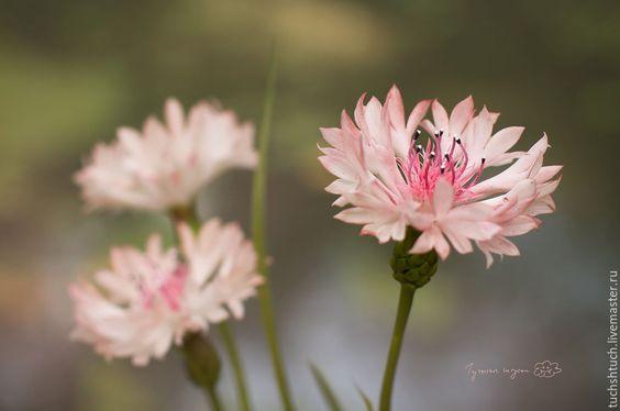 Купить Букетик розовых васильков. - бледно-розовый, василек, садовые цветы, васильки, букет