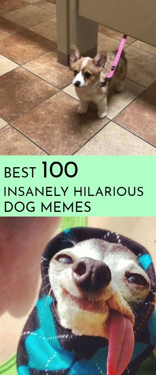 Dog Memes And Funny Humor Pictures Hilarious Jokes Pug Dog Memes Dog Memes Clean Funny Dog Memes