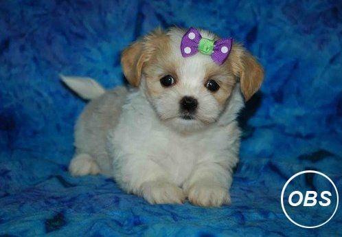 Kc Registered Shih Tzu Puppies Shih Tzu Puppy Service Animal