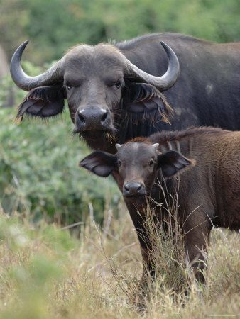African Buffalo with calf