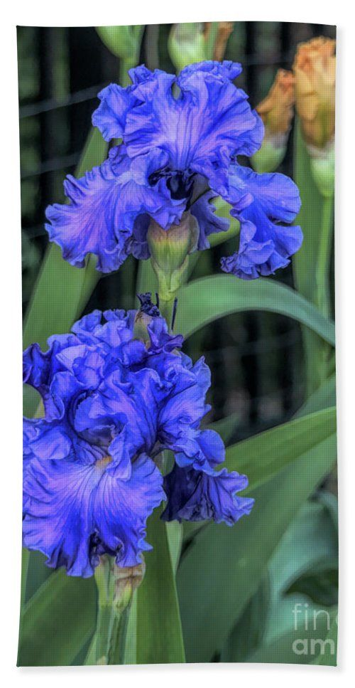 A Unique Beach Towel Featuring Two Stunning Blue Iris Flowers Enjoy Your Trip To The Beach Www Blue Iris Flowers Iris Flowers Unique Beach Towels