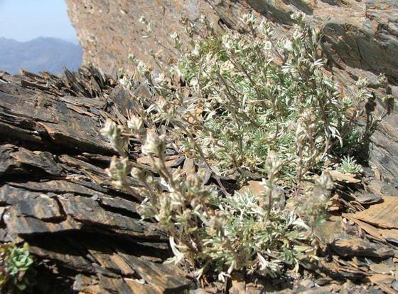 Il genepì, pianta delle alte vette usata come aspirina naturale  http://ambientebio.it/il-genepi-pianta-delle-alte-vette-usata-come-aspirina-naturale/