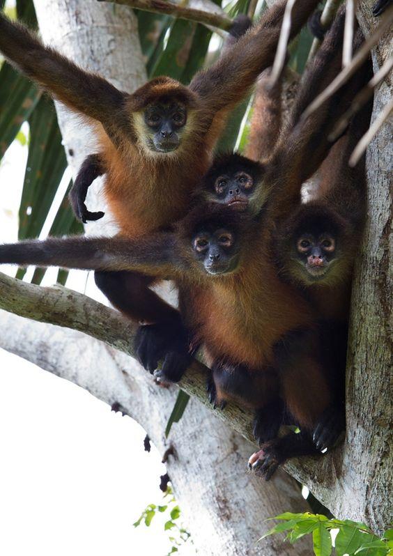 Foto di gruppo per le scimmie ragno nel Parco del #Corcovado, un raro primate del #costarica,