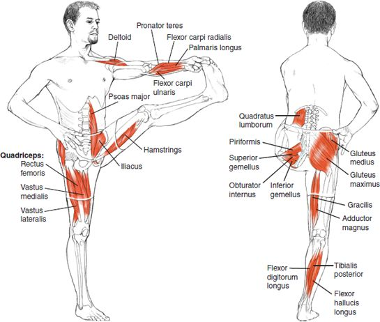 Utthita Hasta Padangusthasana - Leslie Kaminoff Yoga Anatomy Illustrated by Sharon Ellis