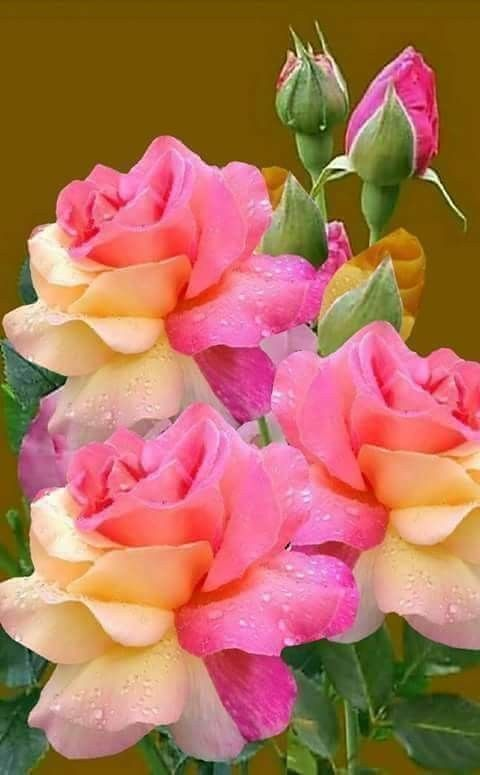 Multi Colored Roses Beautiful Flowers Beautiful Flowers Garden