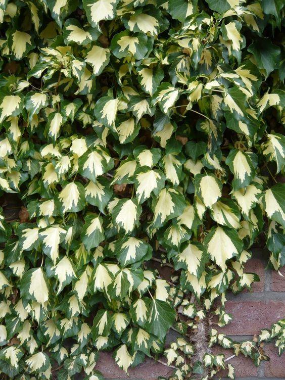 Hedera helix 'Goldheart' / Efeu 'Goldheart' / Efeu 'Goldherz' / Efeu 'Golden Jubilee' – erst gedrungen wird diese selbstklimmende Kletterpflanze bis zu 4m hoch. Von September bis Oktober bildet der Efeu Goldheart gelbgrüne Blüten in kugeligen Doldentrauben