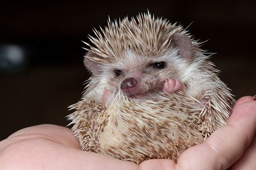 Hedgehog | Flickr - Photo Sharing! LOL: