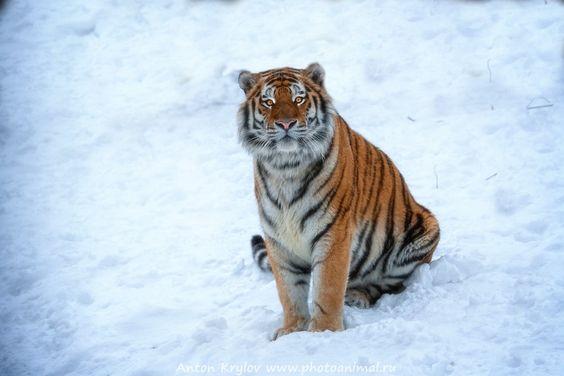 Shy tiger