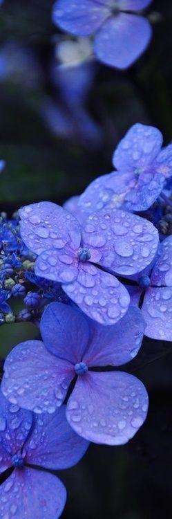 Bright PERIWINKLE BLUE hydrangea- my favorite hue of my favorite flower! Beautiful!!