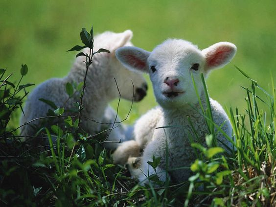 Google Image Result for http://www.acuteaday.com/blog/wp-content/uploads/2012/04/sweet-and-gentle-adorable-lambs.jpg