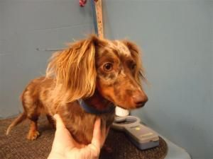 Sophie is an adoptable Dachshund Dog in Joliet, IL. This is little Sophie. Grahamville just saved her from a high-kill shelter in MO. We are told that she is between 1 and 2 years old. She is very cal...