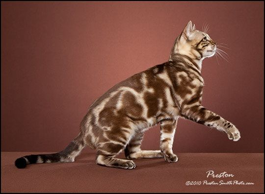 Silver Marbled Tabby Cat   Seal Mink (Snow) Marbled Tabby ...