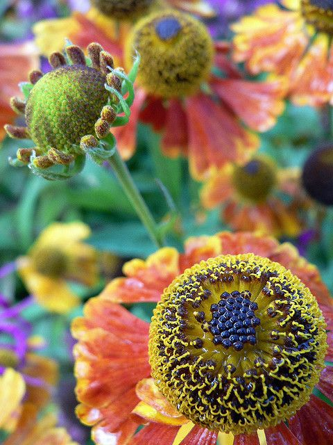 lisafs: Helenium by qofd on Flickr.