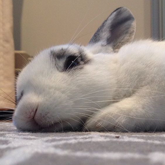 Sleepy after a long day of doing nothing #bunny #rabbit #bunnynose #socute #naptime #bunnylife