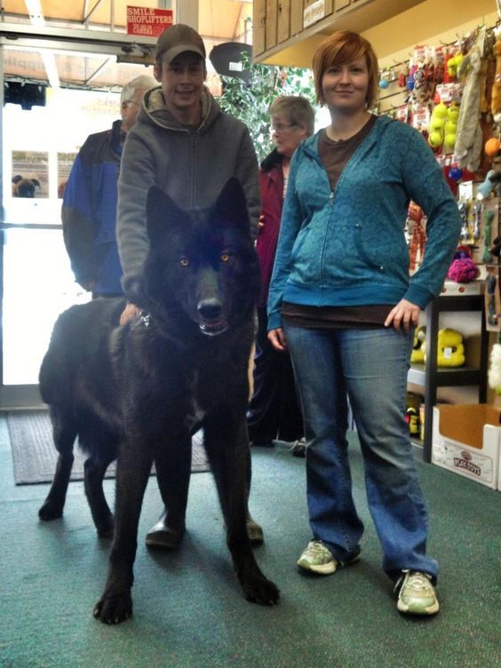 A black wolf hybrid. I would definitely ride this into battle ---> OH LOOK! ITS PADFOOT