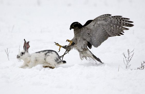 A hawk chases a rabbit.