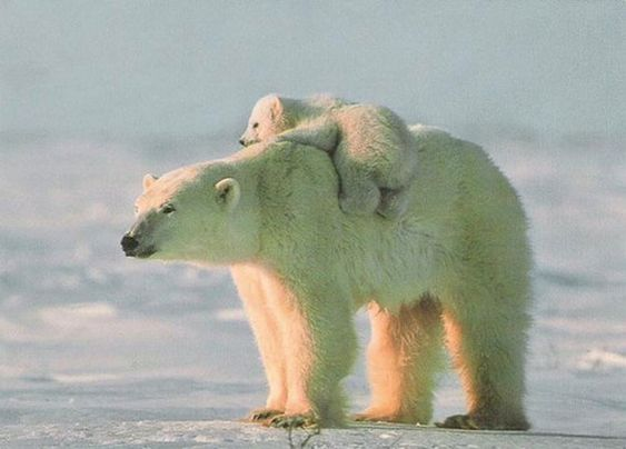 Polar Bears: The Largest and Whitest Bears