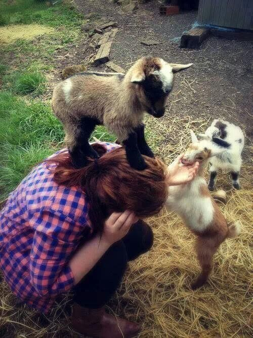 playing with baby goats