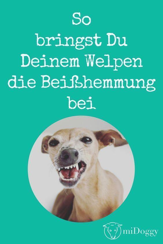 Beisshemmung So Gewohnst Du Deinem Welpen Das Beissen Ab In 2020 Welpen Hunde Welpen Erziehung Hunde Welpen