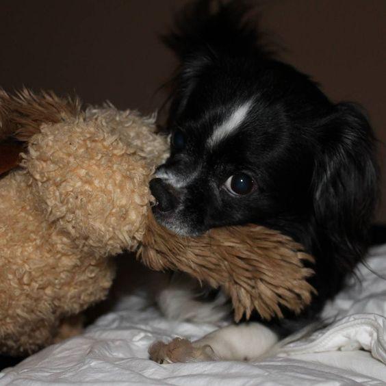 Zuki stole our bedside table 'I love you' bear. #CatchTheMoment366 #photochallenge #dogsofinstagram #dogswithunderbites