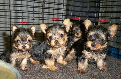 Akc Yorkie Puppies For Sale Kalamazoo Mi Asnclassifieds Akc