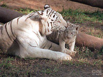 tigres 3