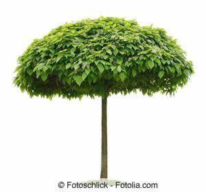 kugel trompetenbaum pflege standort und schneiden. Black Bedroom Furniture Sets. Home Design Ideas