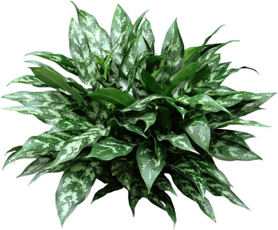 Chinese evergreen are low light easy care houseplants for Easy care outdoor plants