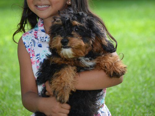 Cavapoo Puppies Characteristics Pictures Advantages Colors Cavalier King Charles Spaniel Cavalier King