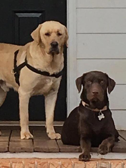 Labrador Retriever Puppy For Sale In Monroe Ga Adn 64346 On Puppyfinder Com Gender Male Age On The Way Labradorretrieverpuppies Labrador Retriever Labrador Labrador Puppies For Sale
