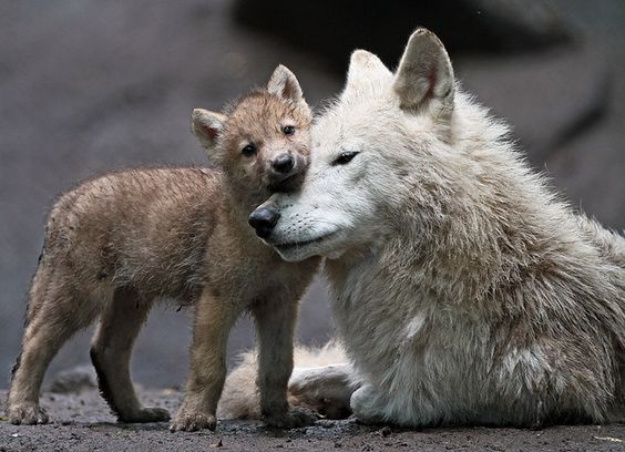 Wolves.: