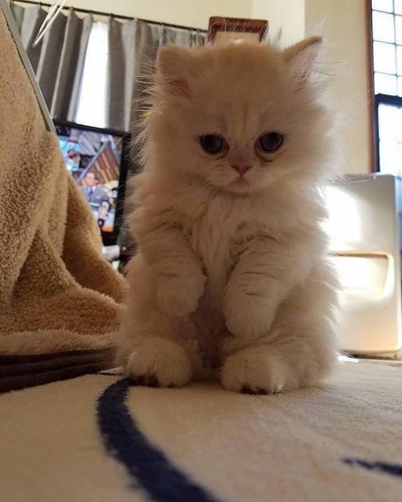 Cute White Kitten Standing Up Whitecat Whitekitten Cutecat