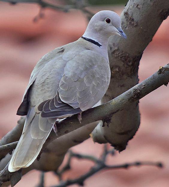Idaho Ring Necked Dove