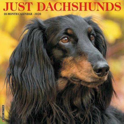 Just Dachshunds 2020 Calendar Dachshunds Are Affectionate