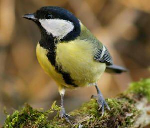soorten vogels in de tuin tijdens de winter mussen merels roodborstje herkennen van vogels: