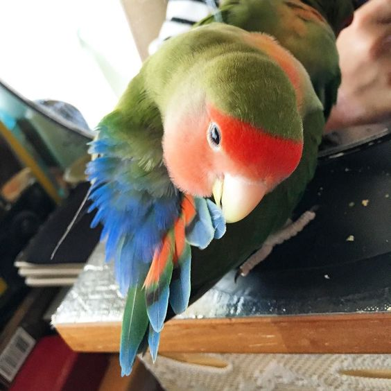 今日も安定のぱっつんをありがとう   #インコ #インコ部 #鳥 #小鳥 #kotori  #コザクラインコ #kozakura #bird #birds  #pet #petbird #parrot #peachfacelovebird  #petsofinstagram #love #lovebird  #ふわもこ部 #ふわもこ #フワモコ部#ふわふわ #もふもふ #もこもこ #fluffy #ぱっつん by kag0624 http://www.australiaunwrapped.com/