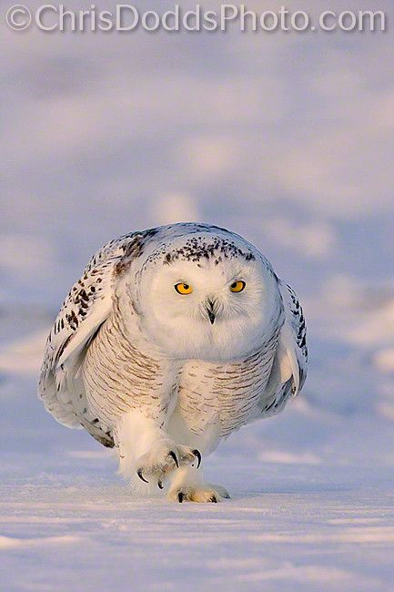 """""""Snowy Owl WALK THIS WAY"""" by Christopher Dodds. """"A Snowy Owl walking at sunset on a very cold Quebec winter day."""""""